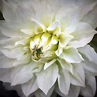 ~ White Dahlia ~ by Lynda Heins