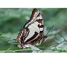 Tailed Emporer Photographic Print