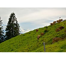 Swiss Cattle on Mt. Pilatus Photographic Print