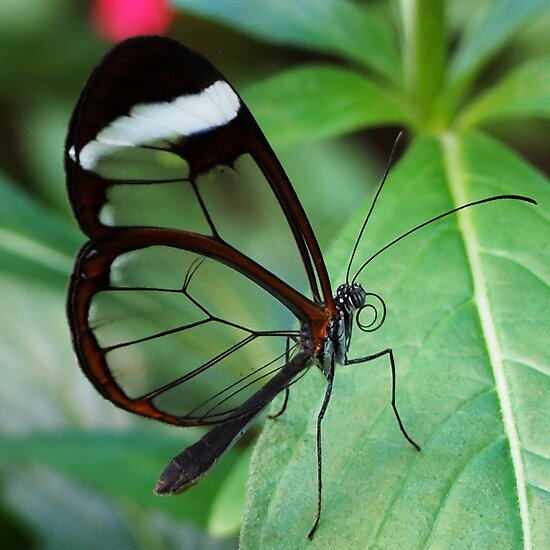 Glasswing Butterfly by Linda  Makiej