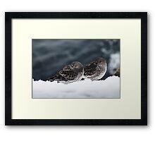 Purple Sandpiper Snow Duet, Gloucester, Massachusetts Framed Print