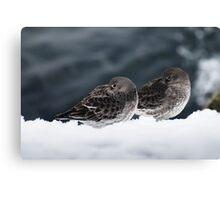 Purple Sandpiper Snow Duet, Gloucester, Massachusetts Canvas Print