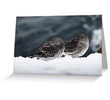 Purple Sandpiper Snow Duet, Gloucester, Massachusetts Greeting Card