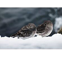 Purple Sandpiper Snow Duet, Gloucester, Massachusetts Photographic Print