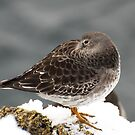 Purple Sandpiper in the Snow - Gloucester, Massachusetts by Steve Borichevsky
