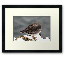 Purple Sandpiper in the Snow - Gloucester, Massachusetts Framed Print