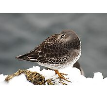 Purple Sandpiper in the Snow - Gloucester, Massachusetts Photographic Print