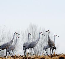 Sandhill Cranes 3 by bozette