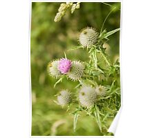 Borrowdale Thistle Poster