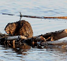Muskrat out for the spring by bozette