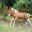 Giddy Colt-Assateague Island, Wild Horse by Sandy O'Toole