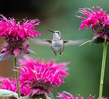 Hummingbird Superhero! by Tracy Riddell
