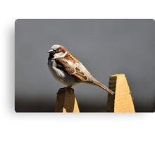 House sparrow sits on a picket fence Canvas Print