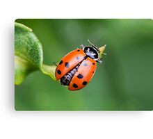 Ladybug, Ladybug Fly Away Home Canvas Print