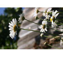 Spring Daisies Photographic Print