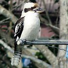 """"""" Kookaburra sits..."""" by Donna Keevers Driver"""