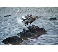 Pelican flapping in the wind - Williamstown Beach Photographic Print