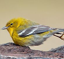Hop Along Warbler by Bonnie T.  Barry