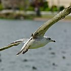 Seagull in Flight by Robert H Carney