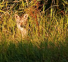 Mysterious Coyote by Tracy Riddell