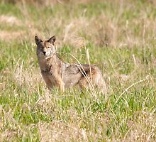 Coyote Takes a Stance by Tracy Riddell