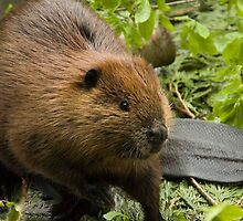 Beaver Tale by Tracy Riddell