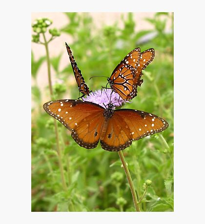 Butterfly ~ Trio of Queens Photographic Print