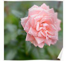 Rosa bagnata Poster