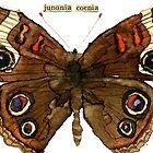 Junonia coenia (Buckeye Butterfly) by Carol Kroll