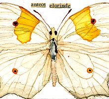 Ateos clorinde (Clorinde Butterfly) by Carol Kroll
