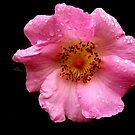 WILD ROSE by RoseMarie747