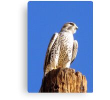 Prairie Falcon Canvas Print
