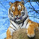 Dartmoor Zoo: &#x27;Really Love Those Tiger Feet&#x27; by Rob Parsons