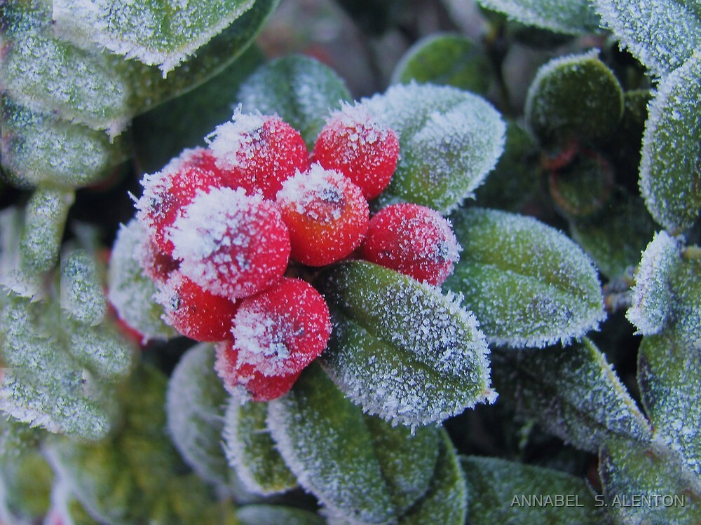 frosted red berries by ANNABEL   S. ALENTON