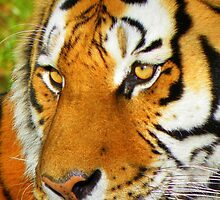Dartmoor Zoo: 'Eye of the Tiger' by Rob Parsons
