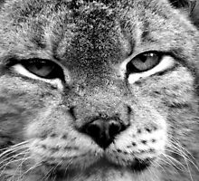 Dartmoor Zoo: 'The Lynx Effect' by Rob Parsons