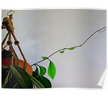 Never Stop Reaching....Hoya Plant Poster