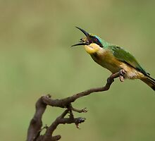 Little Bee-eater by Raymond J Barlow