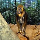 Mandrill At the Zoo by bozette