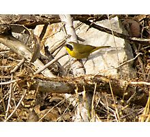 Common Yellowthroat ~ Male Photographic Print