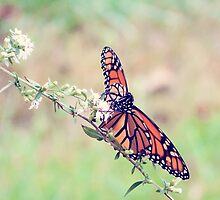 Monarch by Hilary Walker