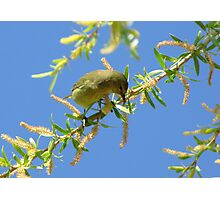 Orange-crowned Warbler Photographic Print