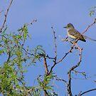 Ash-throated Flycatcher by Kimberly Chadwick