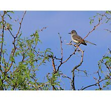 Ash-throated Flycatcher Photographic Print