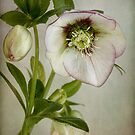 Hellebore by Mandy Disher