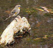 Yellow-rumped Warbler (Audubon's) by Kimberly Chadwick