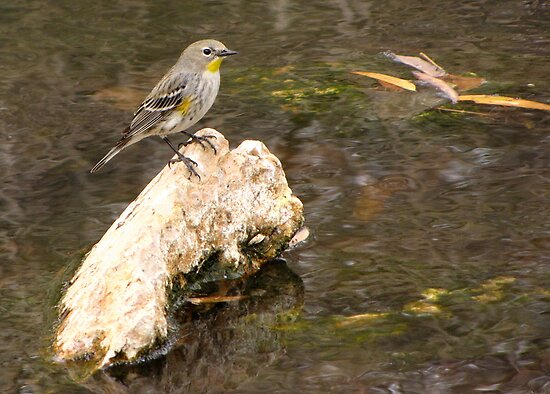 Yellow-rumped Warbler (Audubon's) by Kimberly Chadwick