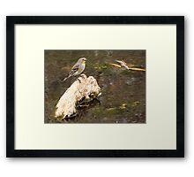 Yellow-rumped Warbler (Audubon's) Framed Print