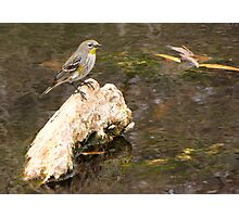 Yellow-rumped Warbler (Audubon's) Photographic Print