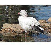 Snow Goose ~ Migrant Photographic Print